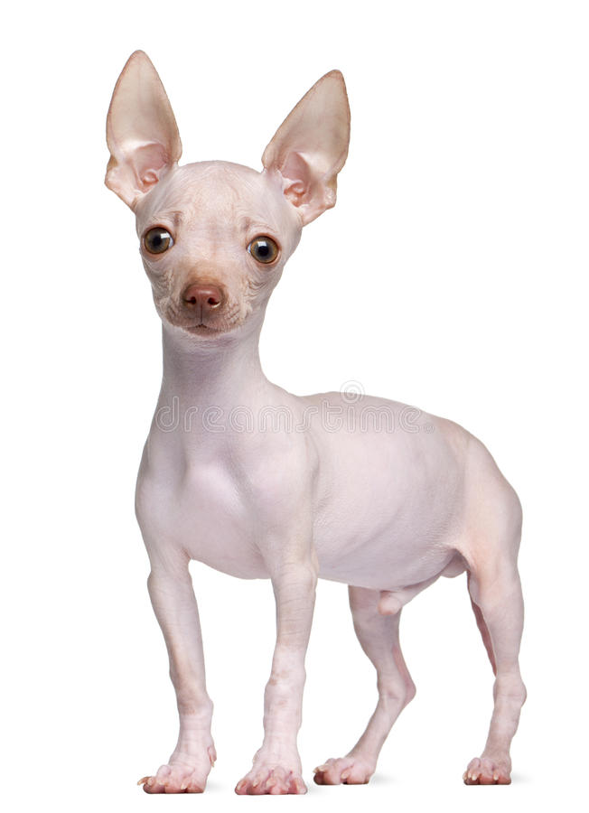 Download Hairless Chihuahua, 5 Months Old, Standing Stock Image - Image: 18813107