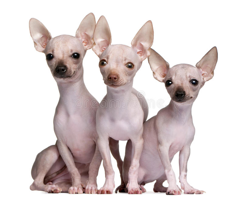Download Hairless Chihuahuas, 5 And 7 Months Old Stock Image - Image: 18813179