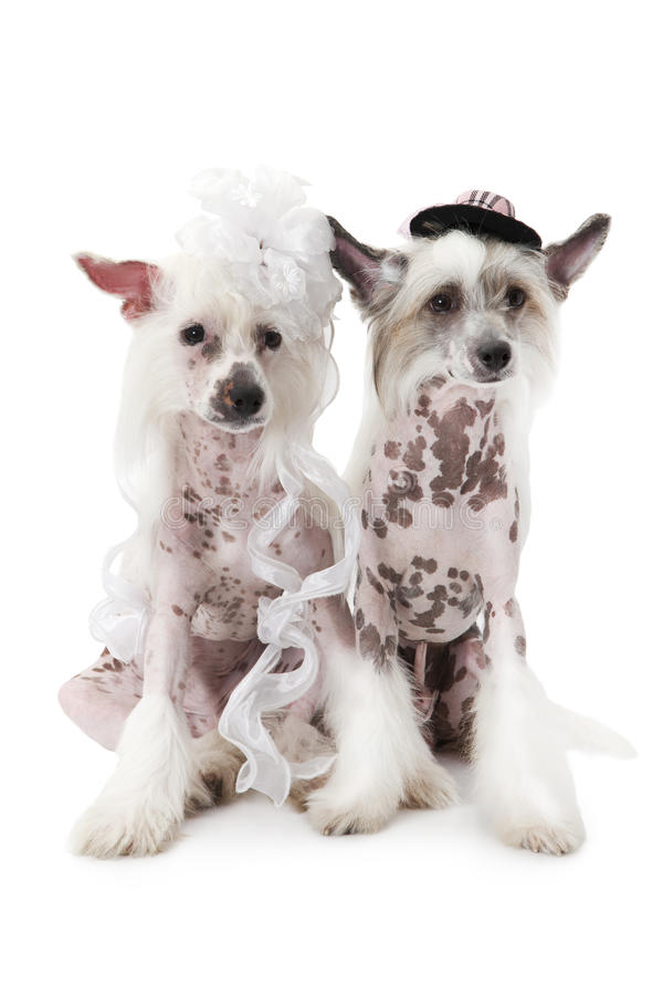 Hairless Chinese Crested dogs dressed in wedding attire stock images