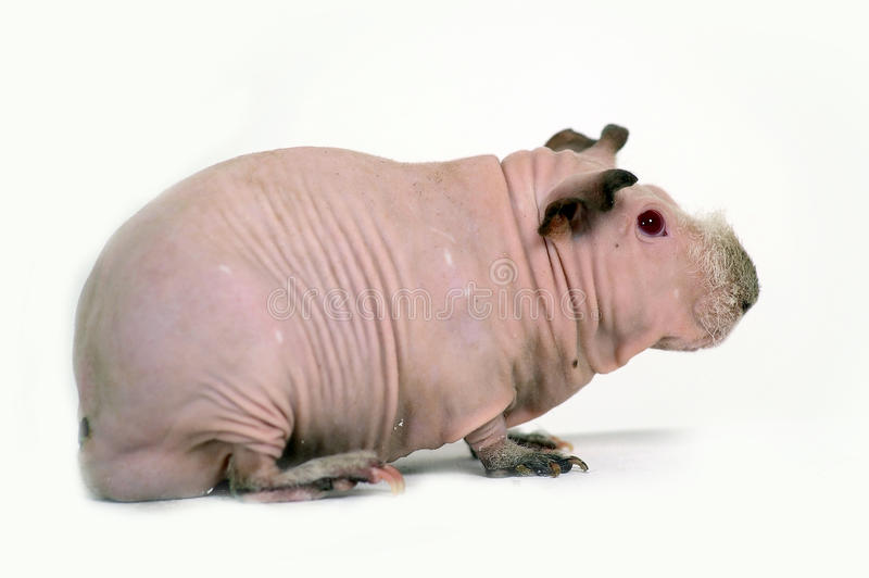 Hairless guinea pig royalty free stock photo