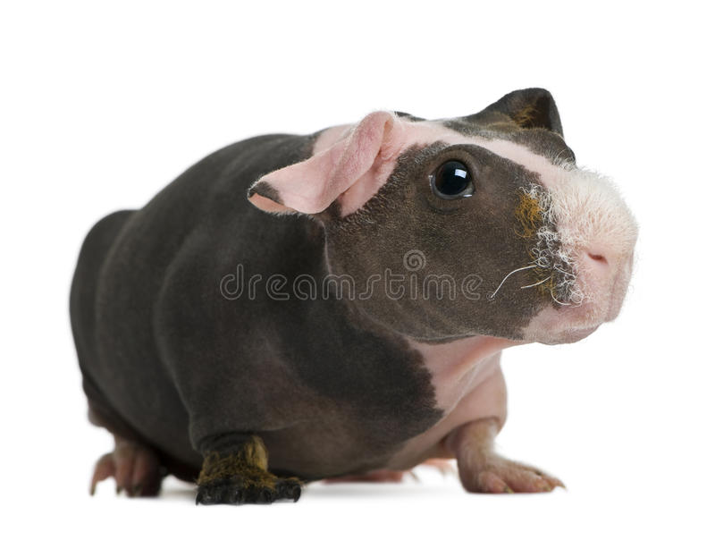 Download Hairless Guinea Pig Standing Stock Image - Image: 14763361