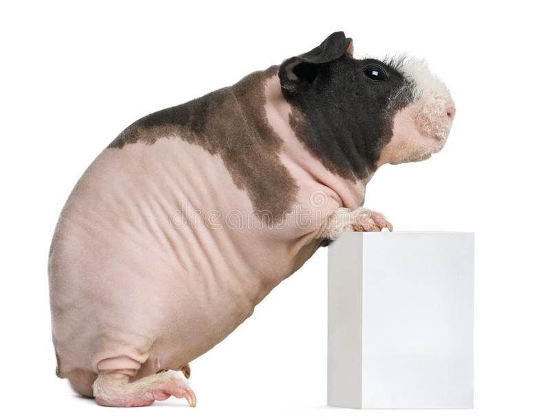 Download Hairless Guinea Pig Standing Stock Photo - Image: 23770930