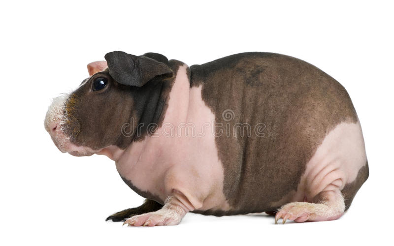 Download Hairless Guinea Pig Standing Stock Photo - Image: 24991400