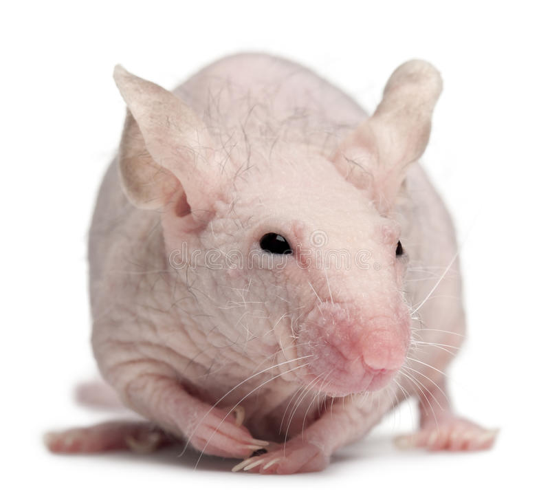 Download Hairless House Mouse, Mus Musculus Stock Photo - Image: 21403930