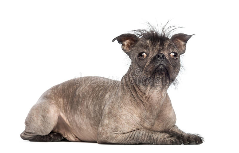 Hairless Mixed-breed dog, mix between a French bulldog and a Chinese crested dog, lying and looking at the camera royalty free stock images