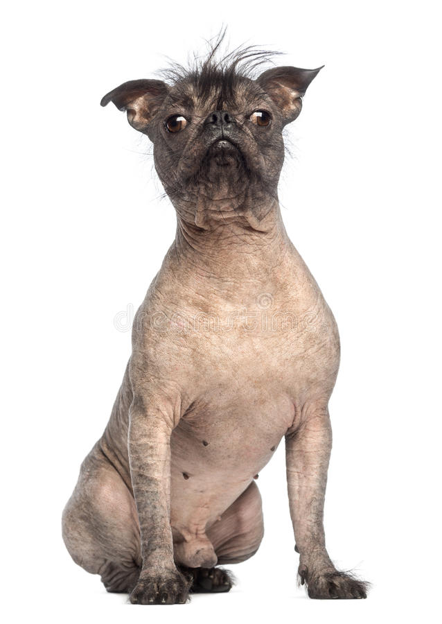 Hairless Mixed-breed Dog, Mix Between A French Bulldog And A Chinese Crested Dog, Sitting And Looking At The Camera Stock Photo