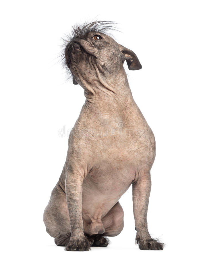 Hairless Mixed-breed Dog, Mix Between A French Bulldog And A Chinese Crested Dog, Sitting And Looking Up Royalty Free Stock Image