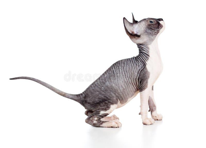 Hairless sphynx kitten stock photos