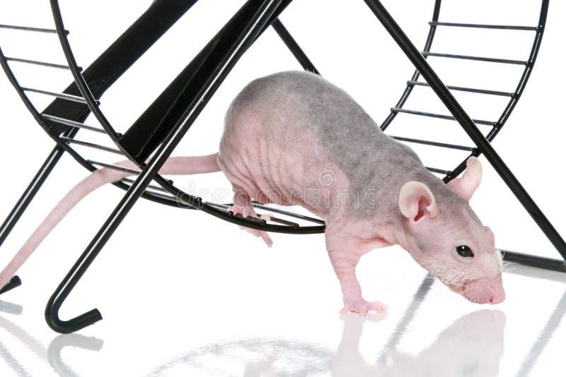 Hairless sphynx rat an exercise wheel. On white background royalty free stock photo