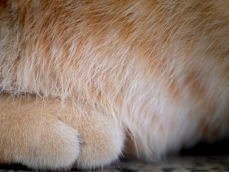 Hairs on The Feet of The Yellow Cat. The Hairs on The Feet of The Yellow Cat stock photos