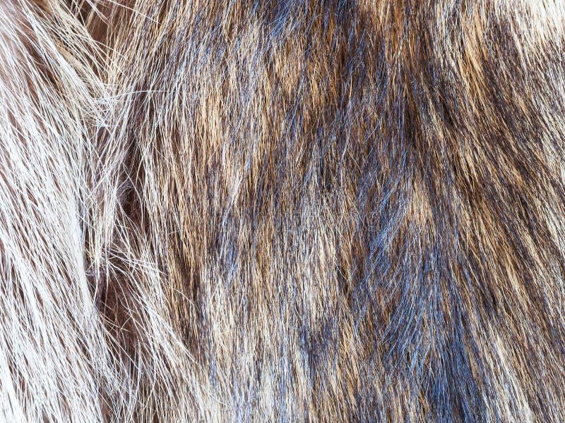 Hairs of raccoon fur close up royalty free stock image