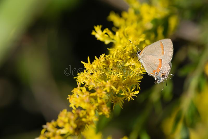 Hairstreak Butterfly on Goldenrod Blooms. A tiny hairstreak butterfly feeds on the yellow blooms of a goldenrod in the late afternoon Autumn sunlight stock image
