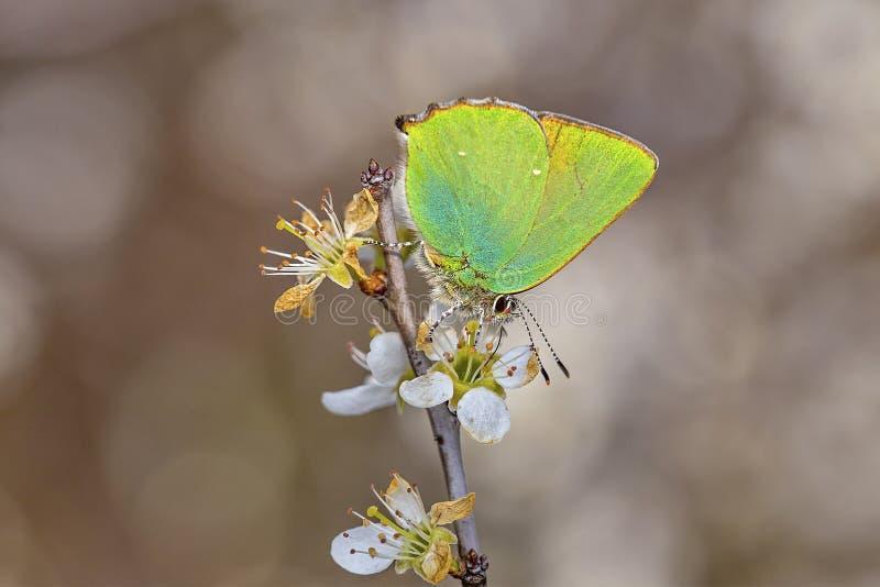 Hairstreak verde, rubi de Callophrys na flor branca imagem de stock