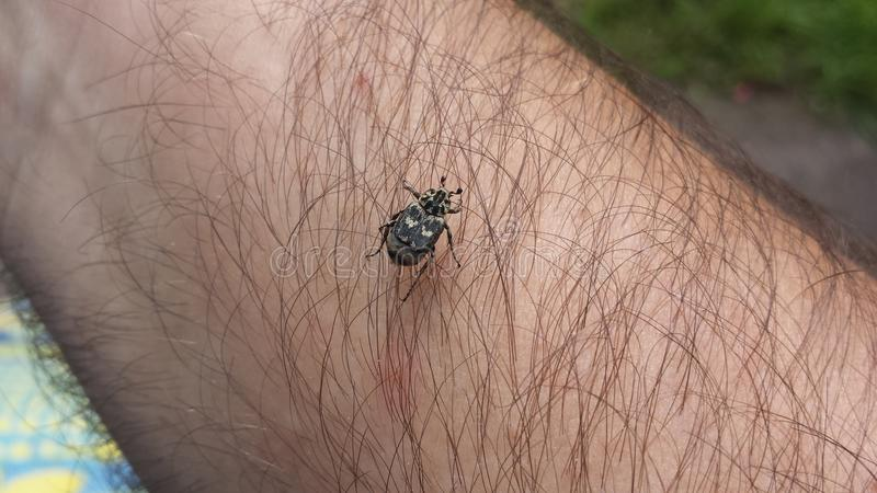 The hairy beetle royalty free stock photography
