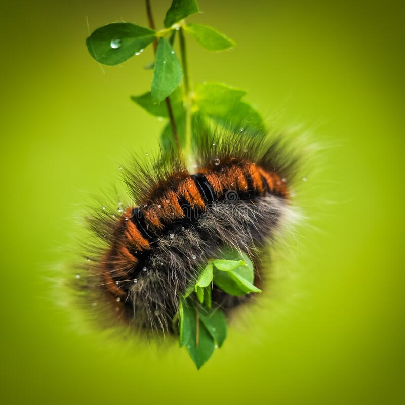 Hairy black and brown caterpillar royalty free stock images