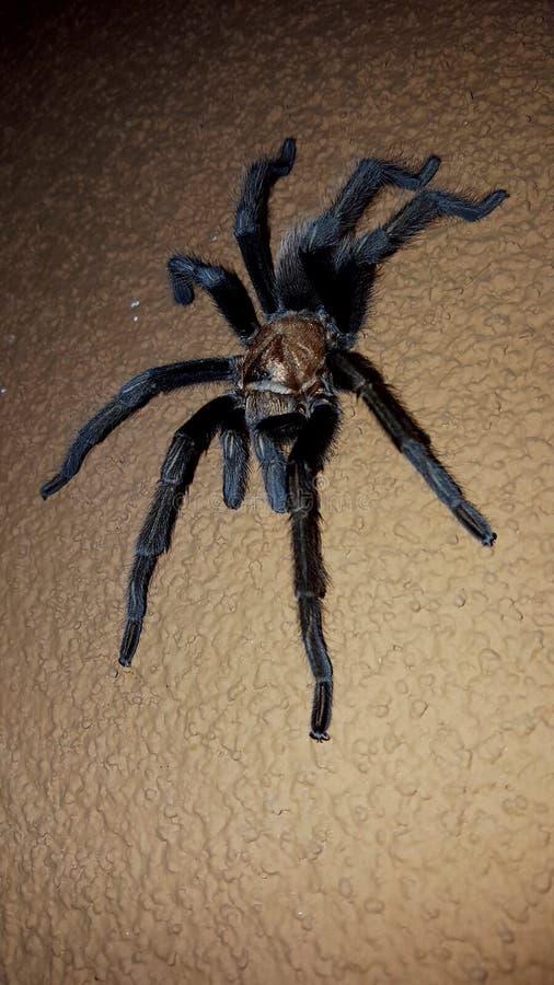 Hairy Black Tarantula Spider with Brown Body. Hairy Black Tarantula Spider with a Brown Body stock photo