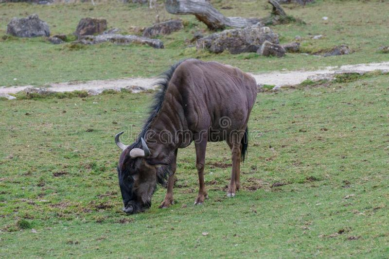 Hairy brown gnu eating grass.  royalty free stock photos