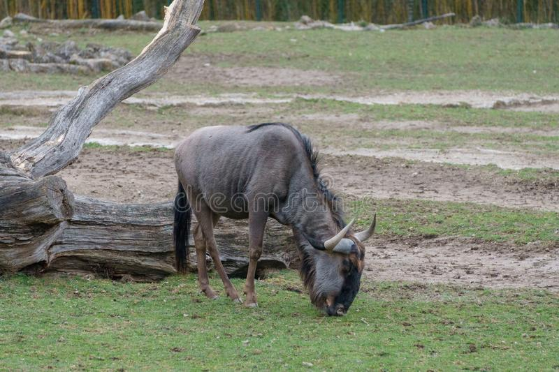 Hairy brown gnu eating grass.  stock photography