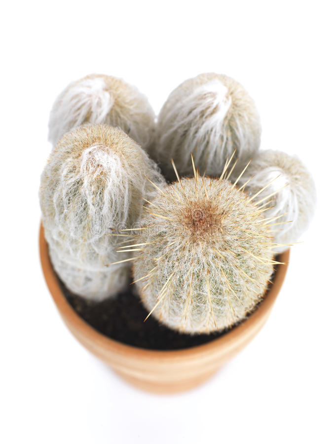 Free Hairy Cactus Stock Photo - 18484790