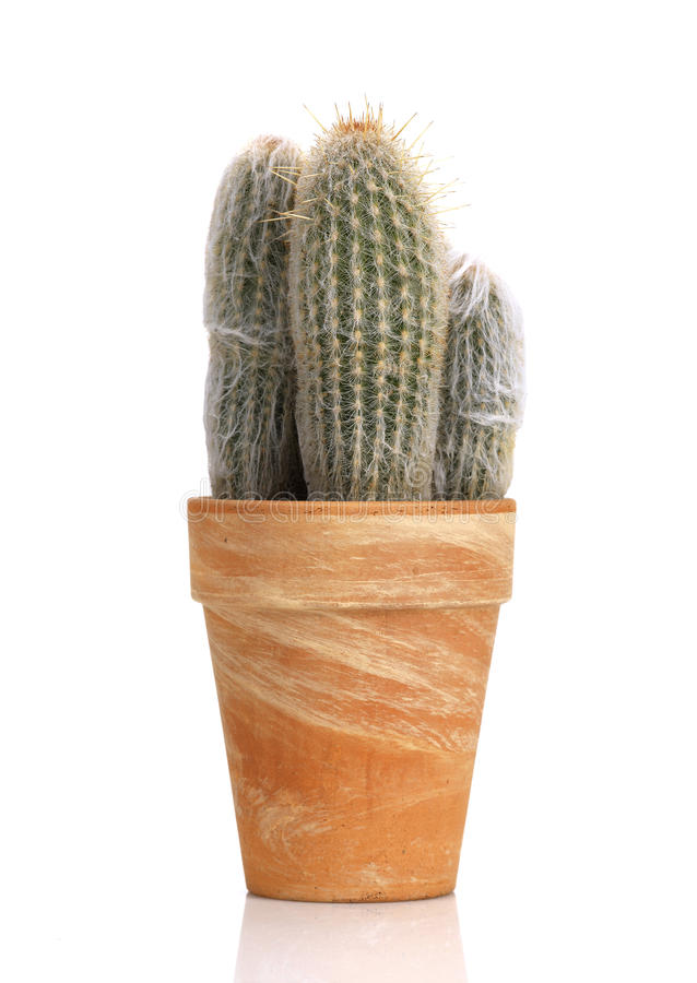 Download Hairy cactus in a pot stock image. Image of hairy, succulent - 18484733
