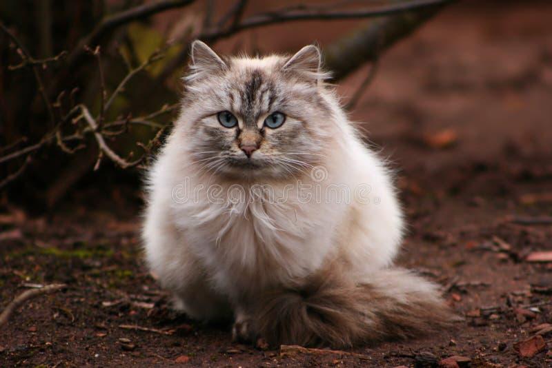 Hairy cat royalty free stock photo