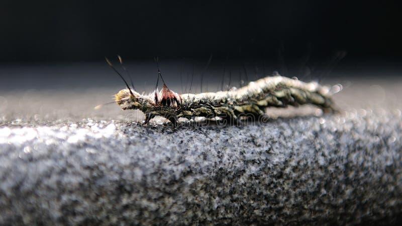 Hairy caterpillar crawling