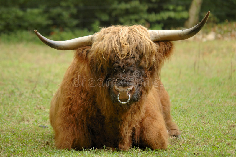 Hairy Coo. A full-frontal view of a bull (ox) of the Scottish Highland cattle breed. Flies on his nose. Known as the 'Hairy coo' in Scotland stock image