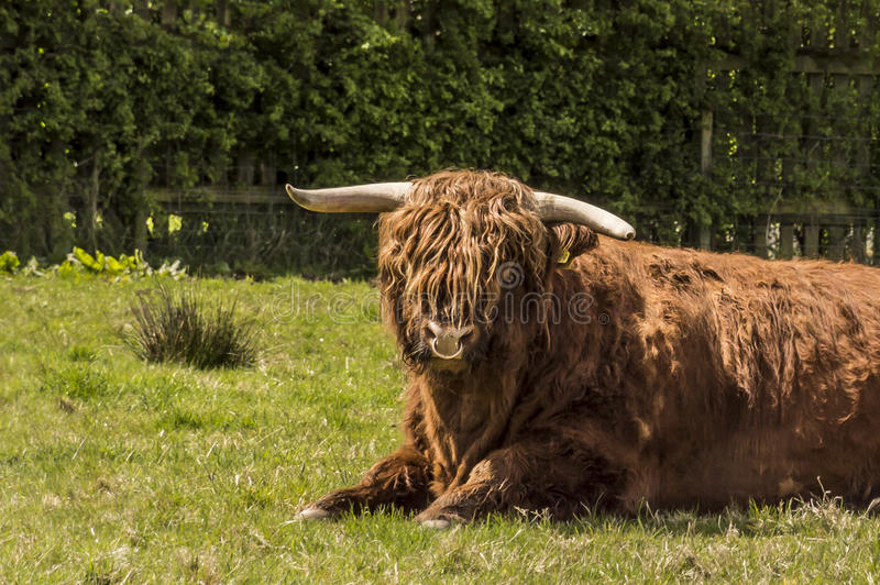 Hairy Coo. Heilan Coo cow, typical Scottish breed, Highlands, Scotland stock photo