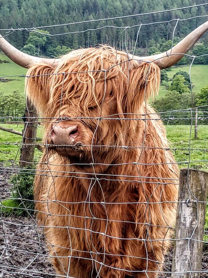 Hairy coo in Scotland stock images