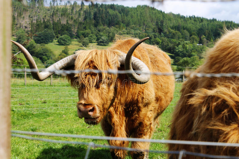 The Hairy Coo of Scotland. Highland cattle also known as the hairy cow are an old Scottish breed of cow, bred primarily for their beef stock photos