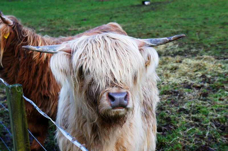 Hairy Coos in a Pen. Hairy Coo is a Scottish breed of cattle, which looks like a cow but is covered by thick fur royalty free stock photography