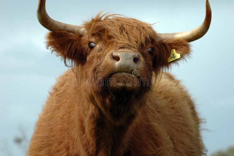 Hairy cow. A close up of a hairy cow stock photos