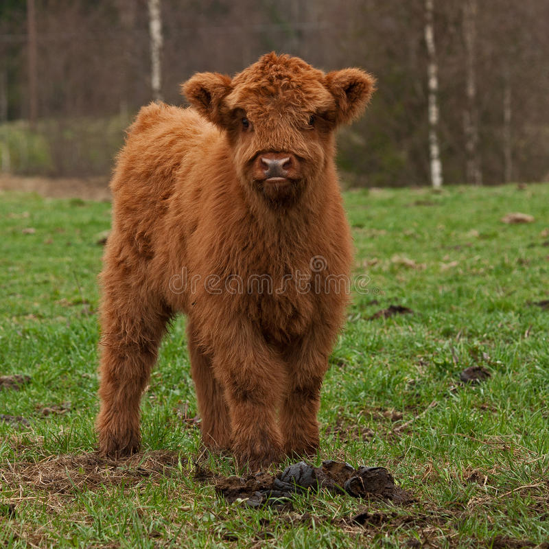 Hairy cute calf of highland cattle in Sweden. Four week old Highland cattle or kyloe in Sweden are an ancient Scottish breed of beef cattle with long horns and royalty free stock photos
