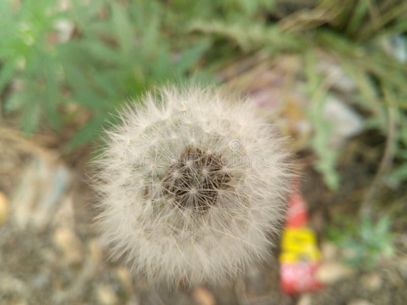 Hairy flower. Cute white hairy flower in desert stock photo