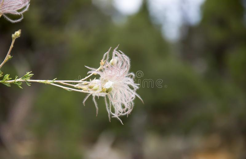 Hairy flower detail. White hairy flower detail on bush in Grand Canyon National Park stock photos