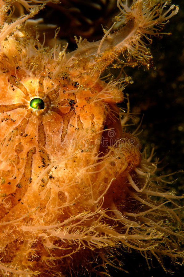 Hairy frogfish royalty free stock image