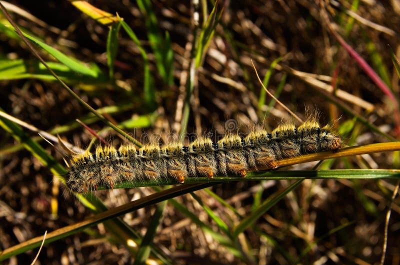 Hairy Grass Eggar caterpillar - Lasiocampa trifolii stock image