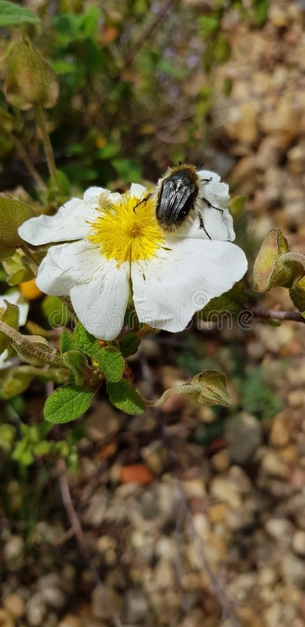 Hairy insect on White wild flower royalty free stock photography