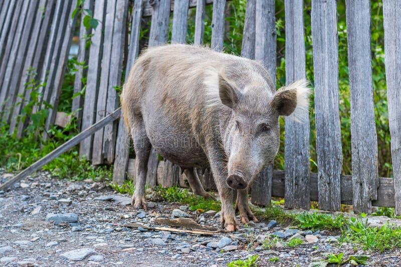 Hairy pig in Svaneti, Georgia royalty free stock photography