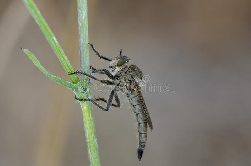 Robber fly sitting on a bent stock images