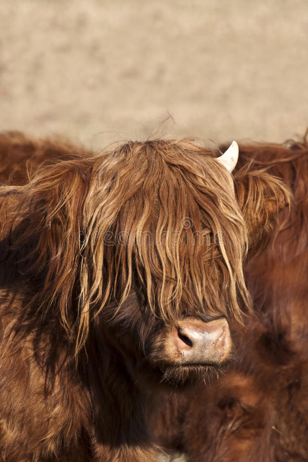 Hairy cow. Hairy Scottish highland cow royalty free stock images