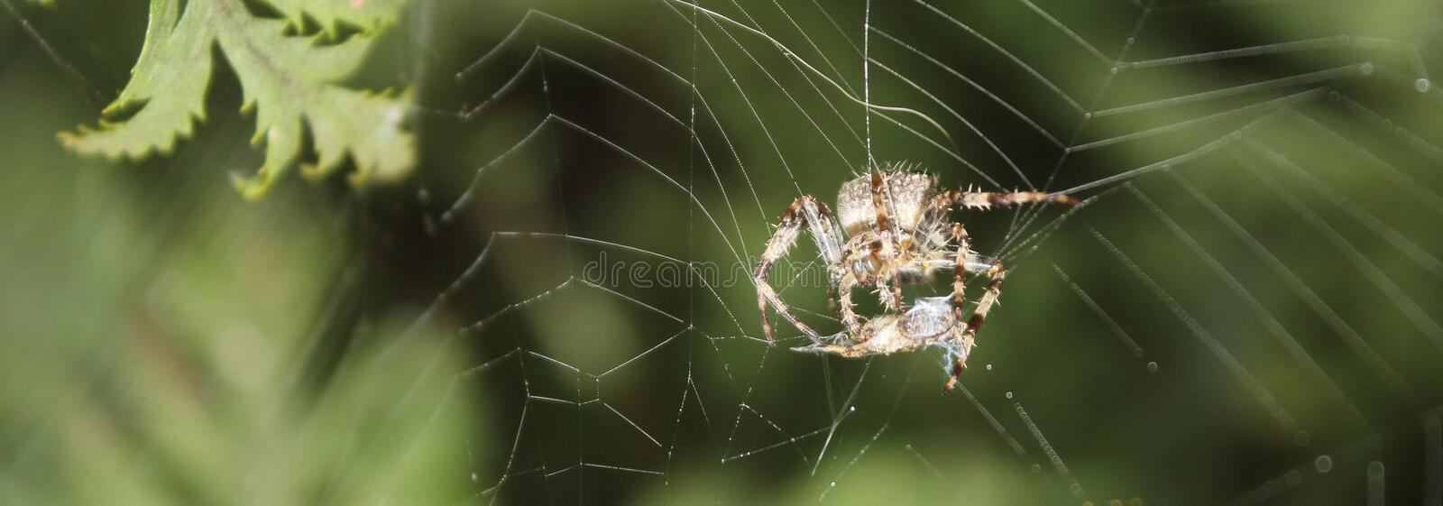Hairy Spider hanging by a thread on a Web wrapping up an Insect stock photography