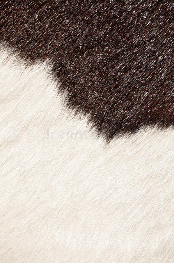 Hairy texture of cow. Brown and white hairy texture of cow stock image