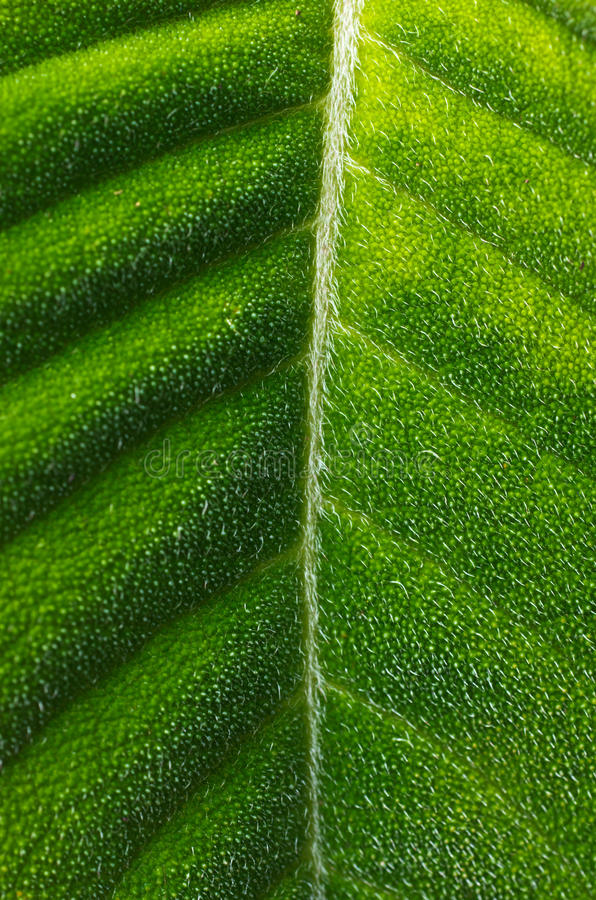 Download Hairy Tropical Leaf stock image. Image of texture, plant - 25122443