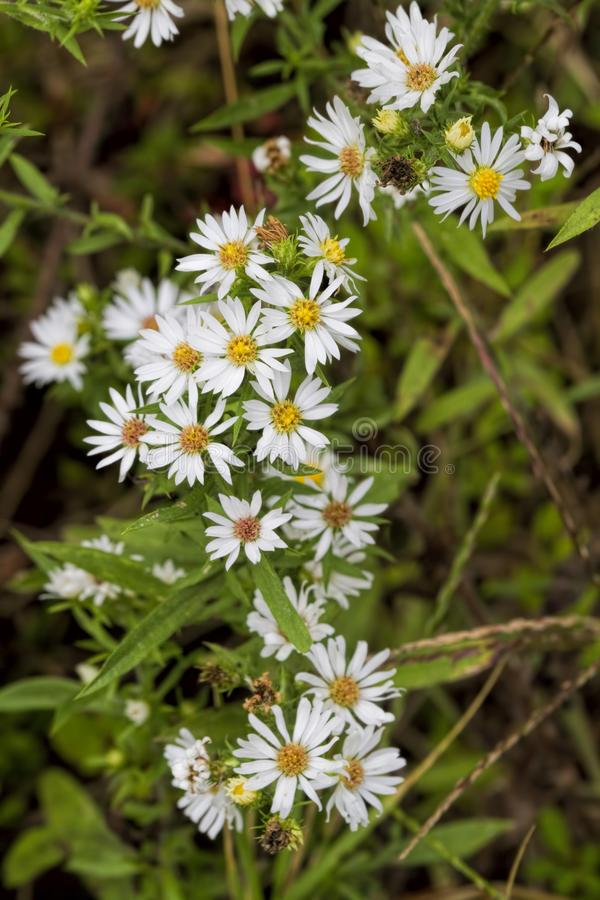 Hairy White Oldfield Aster - Symphyotrichum pilosum. This is a tiny white daisy-like wildflower called several names, Hairy White Oldfield Aster, Frost Aster stock images