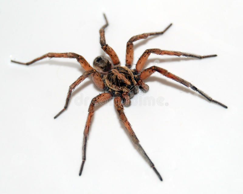 Download Wolf Spider on white stock photo. Image of spider, poisonous - 13851966