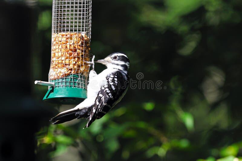 Hairy Woodpecker Royalty Free Stock Photos