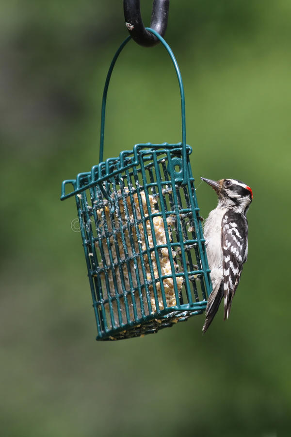 Download Hairy Woodpecker stock image. Image of white, black, claw - 24989431