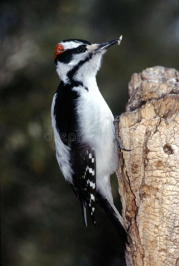 Hairy Woodpecker Male (Picoides Villosus) Stock Images