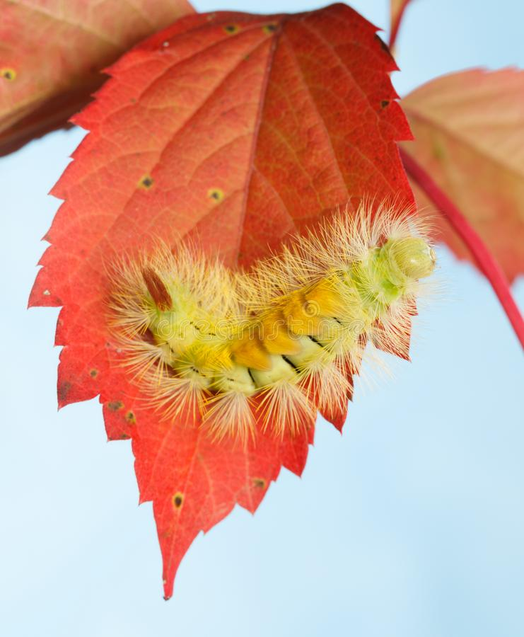 Hairy yellow caterpillar on red leaves royalty free stock photo